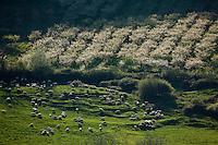 Europe/Europe/France/Midi-Pyrénées/46/Lot/Env de Saint-Médard-de-Presque: Verger  de Pruniers et troupeau  de moutons
