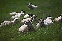 Europe/France/Bretagne/56/Morbihan/ Belle-Ile-en-Mer: Moutons de Belle-Ile  à la ferme de la famille Jouan