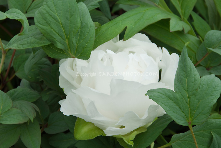 Paeonia suffruticosa Koshi-no-Yuki tree peony in white flowers