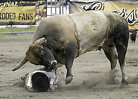 "29 August, 2004:  PRCA Rodeo Bull Rider Wesley Silcox ranked 39th in the world riding the bull ""Good Show"" gets pinned to the ground after falling off during the PRCA 2004 Extreme Bulls competition in Bremerton, WA."