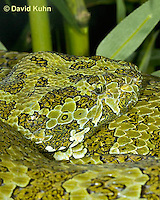 0430-1108  Mang Mountain Pit Viper (China Mangshan Pitviper), Detail of Head, Only Non Cobra that Can Spit Venom, Zhaoermia mangshanensis (syn. Trimeresurus mangshanensis)  © David Kuhn/Dwight Kuhn Photography