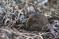 Field mouse, closeup