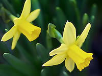 Close up of two daffodils. Tete-A-Tete variety.