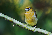 Prong-billed Barbet, Semnornis frantzii, adult perched, Central Valley, Costa Rica, Central America