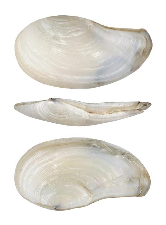 pandora shell