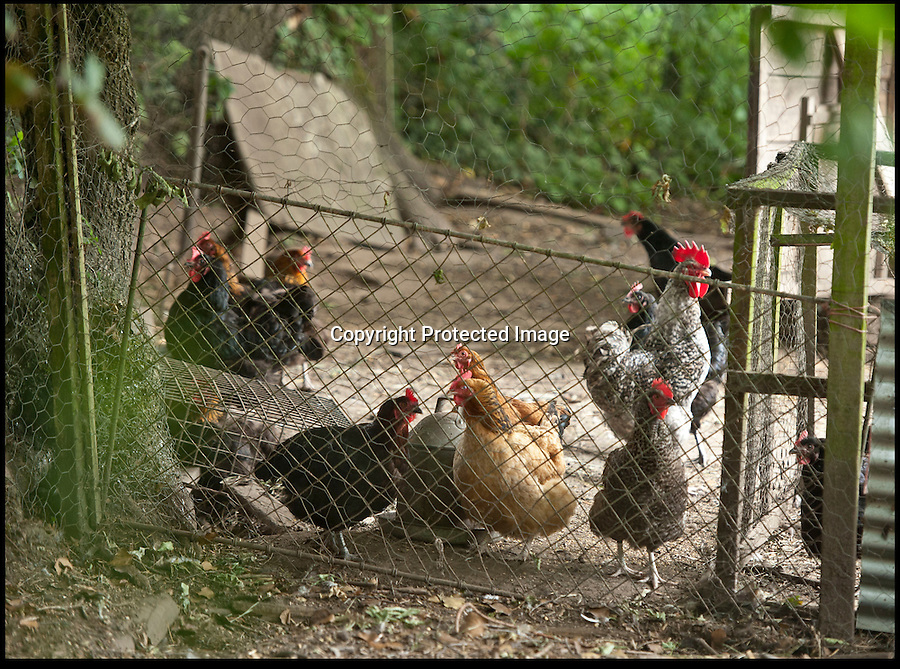 BNPS.co.uk (01202 558833)<br /> Pic: JonBeal/BNPS<br /> <br /> The Hobbs six free range chickens.<br /> <br /> A retired couple who panicked into selling battery eggs from outside their village home after their free-range hens stopped laying have been prosecuted for fraud.<br /> <br /> For years, Stephen and Anne Hobbs left out cartons of eggs laid by their brood of chickens along with an honesty box for payment for customers at their front gate.<br /> <br /> But when the birds stopped producing the tasty eggs last year after being worried by foxes Mr Hobbs, a former engineer, feared a drop in custom.<br /> <br /> Over a period of months he bought 12,000 eggs from a battery farm and began passing them off as free range to people who stopped outside their home in the village of Three Legged Cross, Dorset.<br /> <br /> But suspicions were raised after a member of the public noticed a sudden surge in production of eggs by Mr Hobbs' hens.