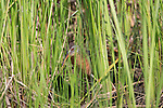 Virginia rail feeding in the vegetation