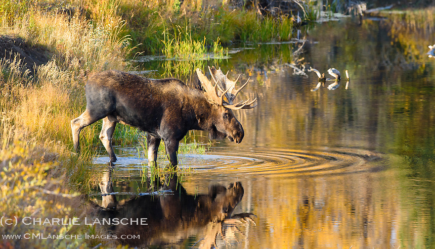 A wondrous sight as this big bull moose crossed a slough along the Snake River near the edge of a beaver dam in pursuit of his harem.