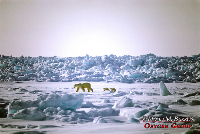 Polar Bear & Two Cubs