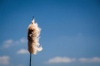 A cattail flower spike has burst, releasing its fluffy seeds to be carried away by the wind.  Cayote HIlls Regional Park, along San Francisco Bay.