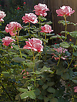 Moon Shadow Rose, Rosa hybrid tea