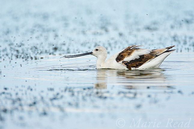 American Avocet (Recurvirostra americana), non-breeding plumage, foraging on Alkali Flies (Ephydra hians) (dark masses floating on the water's surface), October, Mono Lake, California, USA