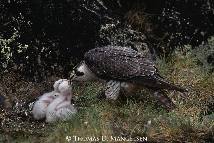 A Peregrine Falcon feeding its chicks.