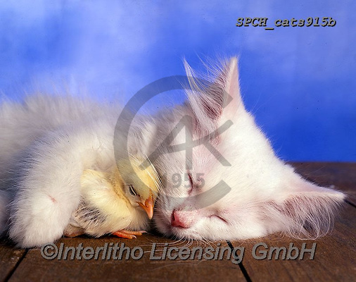 Xavier, ANIMALS, REALISTISCHE TIERE, ANIMALES REALISTICOS, cats, photos+++++,SPCHCATS915B,#a#, EVERYDAY