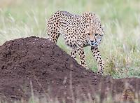 Young male Cheetah (Acinonyx jubatus) investigates termite mound, Lewa
