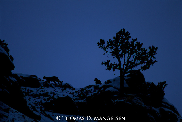 Mountain lions on Miller Butte at nightfall.