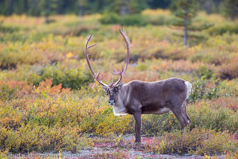 Bull caribou on the autumn colored tundra, Interior, Alaska.