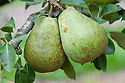 """Pear 'Moonglow', early September. """"Developed in the 1960s by the US Dept.of Agriculture as part of a program to develop pears which were resistant to fireblight. 'Moonglow' is a cross between an old variety called 'Roi Charles de Wurtemburg' and an experimental variety called 'Michigan 437' which was derived from 'Bartlett' and 'Comice'."""" (www.orangepippintrees.co.uk)"""