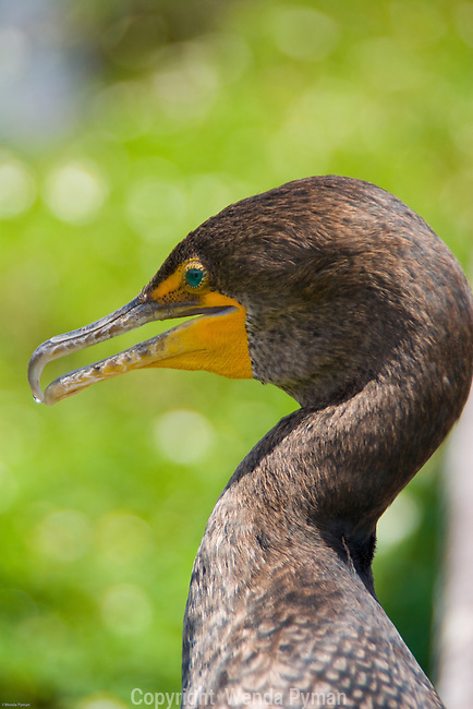 The Florida cormorant has a hook-like tip on the upper maxilla of their bill