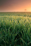 Golden sunrise and misty morning dew on green grass in rural country farm pasture field, Merced County, California