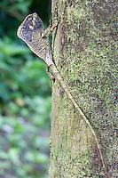 Helmeted Iguana; or Helmeted Basilisk; Corytophanes cristatus; Panama