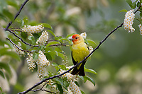 Male Western Tanager (Piranga ludoviciana) in wild Chokecherry bush.  Idaho/Wyoming border area.  June.