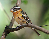 First-winter male black-headed grosbeak