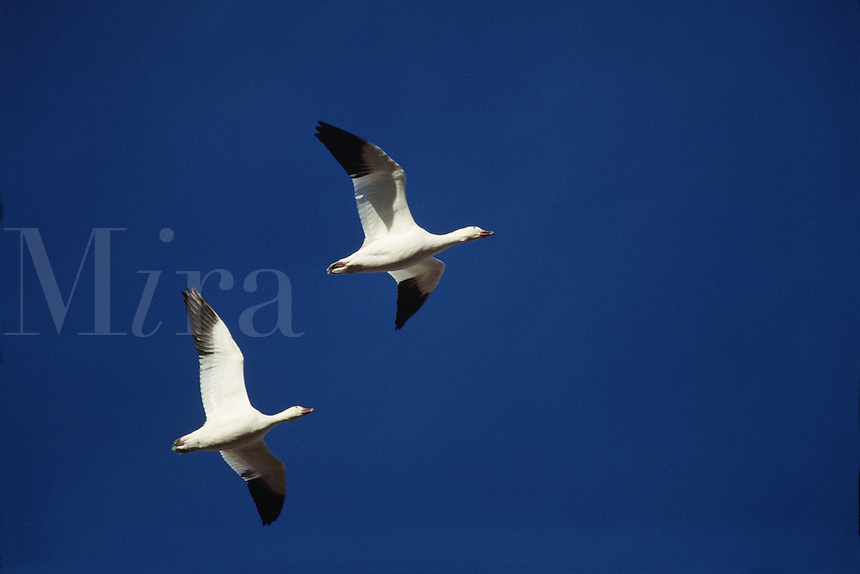 Snow geese (Chen caerulescens) in flight.