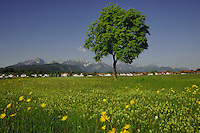 Chestnut tree in dandylion and daisy covered spring meadow, against the Alps.Close to Forggensee lake, Schwangua area, Bavaria, Germany.