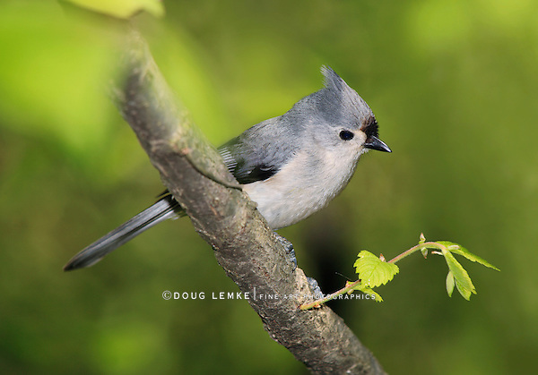 A Small Bird, The Tufted Titmouse In Early Spring Posing Nicely, Parus bicolor