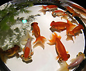 "July 7, 2016, Tokyo, Japan - Goldfish swim in a fish tank during a press preview of an art exhibition ""Art Aquarium"" in Tokyo on Thursday, July 7, 2016. The exhibition, designed by aquarist Hidetomo Kimura, will be held at Nihonbashi Mitsui Hall from July 8 through September 25.  (Photo by Yoshio Tsunoda/AFLO)"