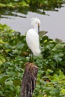 Snowy Egret, Flores, Peten, Guatemala