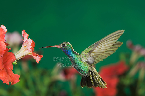 Broad-billed Hummingbird, Cynanthus latirostris, male in flight feeding on Petunia, Madera Canyon, Arizona, USA