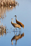 A pair of sandhill cranes at the Lee Metcalf Wildlife Refuge in western Montana.