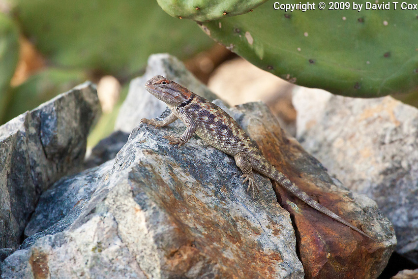 lizard of Sonoran Desert, Arizona, USA
