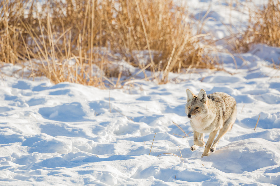 A single coyote runs along the snow in Yellowstone National Park, Wyoming.