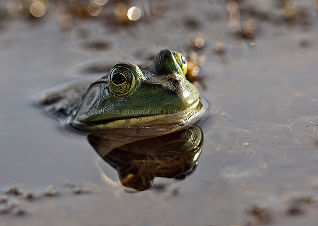 A bullfrog in Poor Farm swamp waits for an insect to fly by.