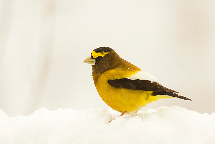 Male Grosbeak in winter.