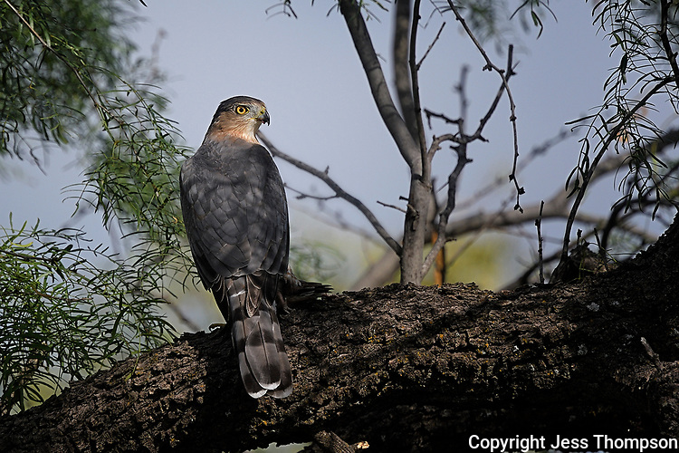Cooper's Hawk, San Angelo State Park