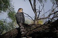 Cooper's Hawk, San Angelo State Park