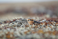 Red Knot (Calidris canutus rogersi) incubating nest on a coastal gravel spit. This subspecies migrates to New Zealand and Australia for the winter months. Chukotka, Russia. June.