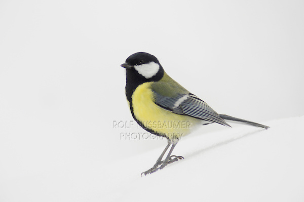Great Tit (Parus major), male perched on snow, Zug,Switzerland, Europe
