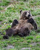After taking a nap, a Grizzly Bear gives her back a good scratching on the ground. Bridger-Teton National Forest, Wyoming.
