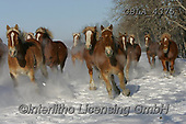 Bob, ANIMALS, REALISTISCHE TIERE, ANIMALES REALISTICOS, horses, photos+++++,GBLA4375,#a#, EVERYDAY