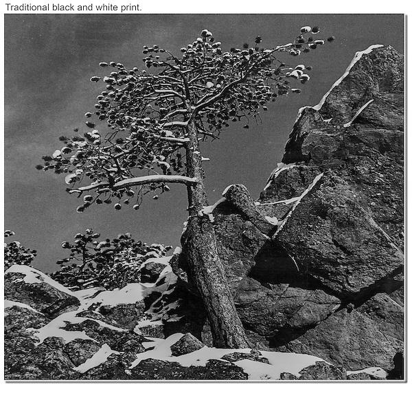 Fresh snow blowing off Ponderosa pine, Boulder, Colorado.  B+W print