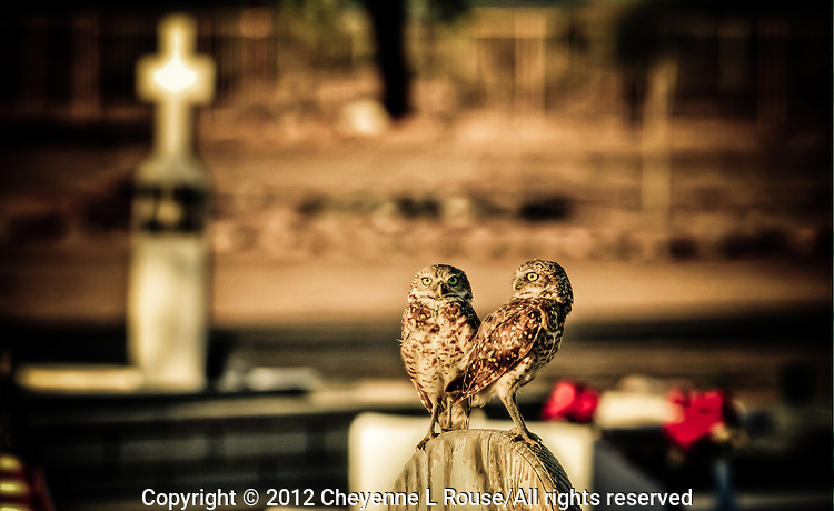Watchful Owls #2 - Cemetery - Salt River Indian Reservation - Arizona. Burrowing Owls
