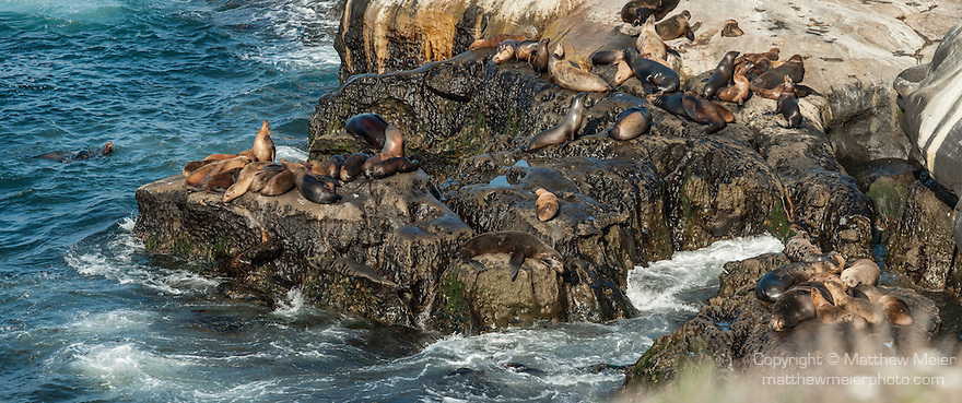 La Jolla Cove, La Jolla, California; a panoramic view of California Sea Lions (Zalophus californianus), Brown Pelicans and Cormorants on the rocky shoreline at La Jolla Cove