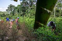 """Coca growers known as """"cocaleros"""", harvest coca leaves in a """"cato"""", a coca plot which measures 40x40 square meters, in the Chipiriri vicinity, Chapare region, Bolivia. November 30, 2019.<br /> Les cultivateurs de coca appelés """"cocaleros"""", récoltent les feuilles de coca dans un """"cato"""", une parcelle de coca de 40x40 mètres carrés, dans les environs de Chipiriri, région du Chapare, Bolivie. 30 novembre 2019."""