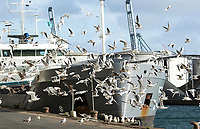 Flock of seagulls at the Harbour, flying back and forth in front of a Ship, to get to the harbour where there are corn lying on the street.