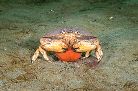 Jonah Crab, Cancer borealis, female holding eggs (orange) under her abdomen, Gulf of Maine, Rockport, Massachusetts, USA, Atlantic Ocean